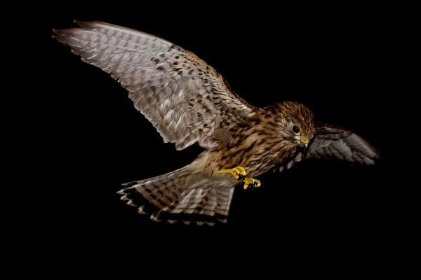 Kestrel in Flight by NorthernPhotographer