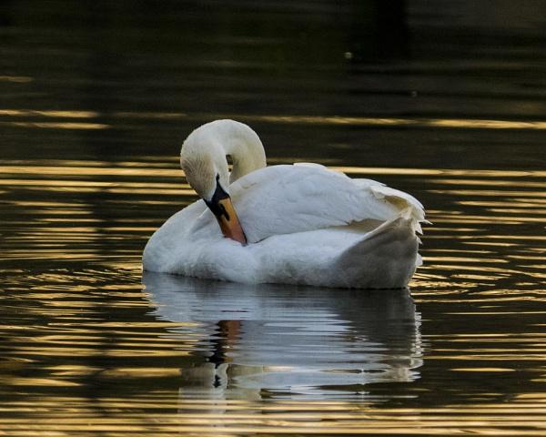 Preening Swan by chensuriashi