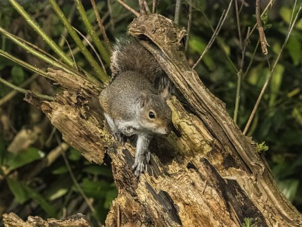 Squirrel Posing by chensuriashi