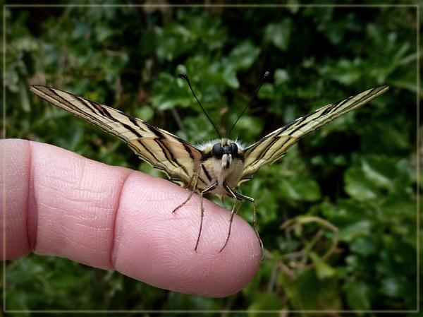 friendly scarce swallowtail by CarolG