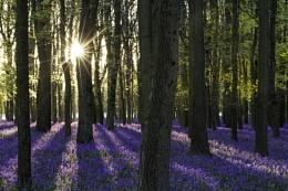 Bluebells at sunrise...