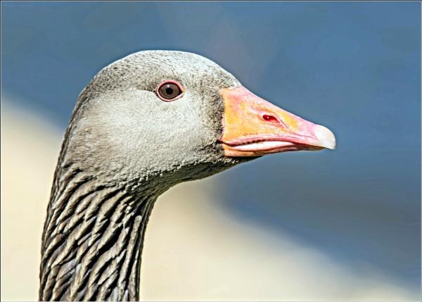 Greylag Goose by delboy85