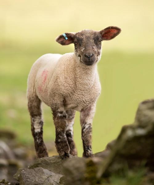 Lamb by DannoM