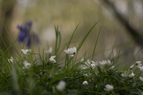 Windflowers by dawnstorr