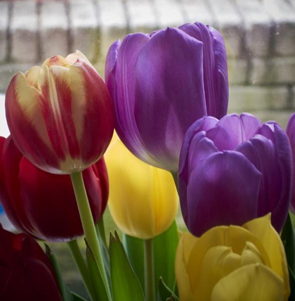 tulips by Meditator