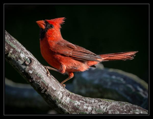 Cardinal by mjparmy