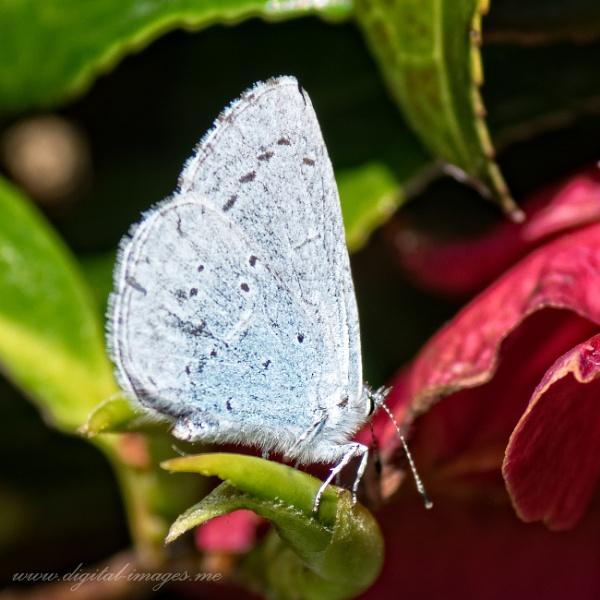 Holly Blue by Alan_Baseley