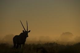 Gemsbok at Dawn