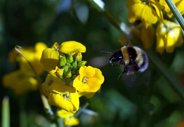 Bee approaching wallflower. by NeilWigan