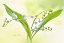 Lily of the valley by jackyp