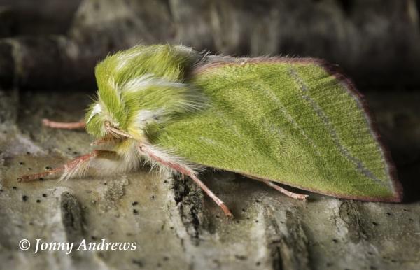 Green Silver-lines Pseudoips prasinana by JonnyNI