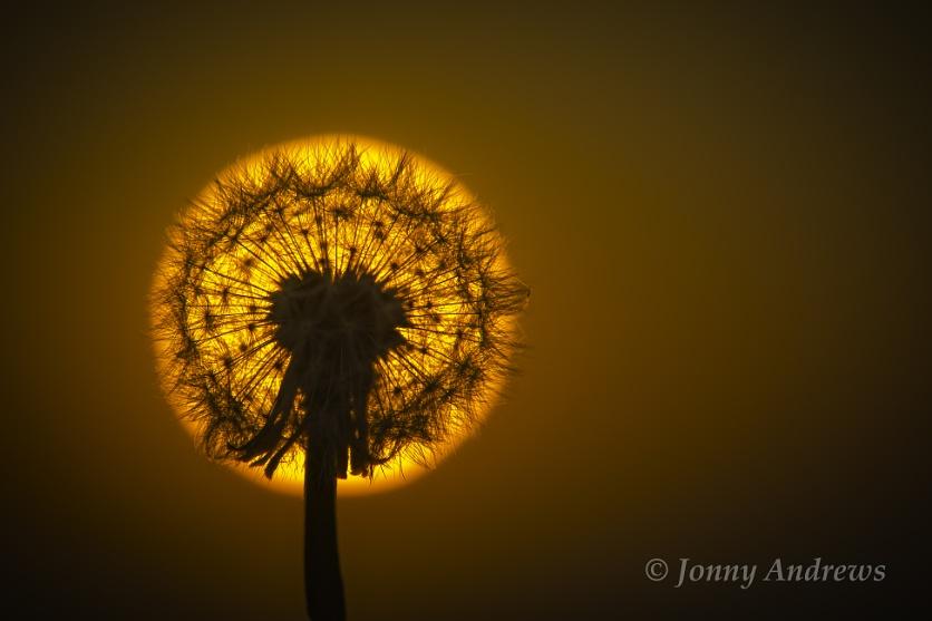Dandelion Clock Sunset