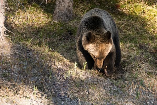 Grizzly Cub by StrayCat
