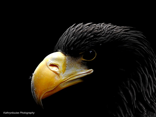 Steller\'s Sea Eagle by kathrynlouise