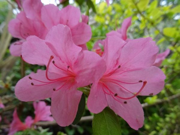 Azalea Blooms by Mags100