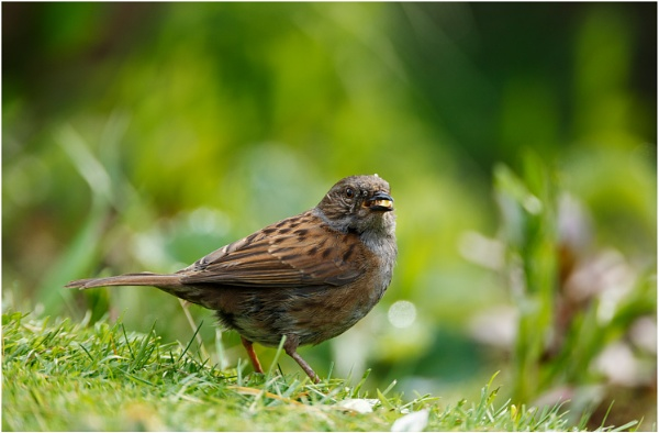 Dunnock by dark_lord