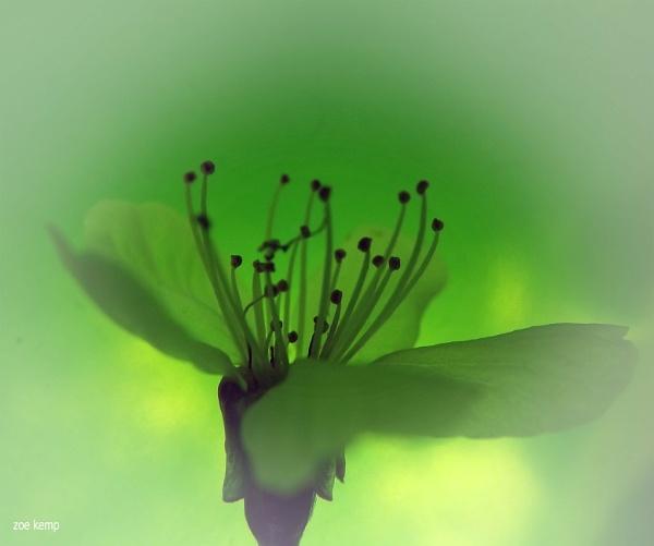 Tree Blossom by ZoeKemp