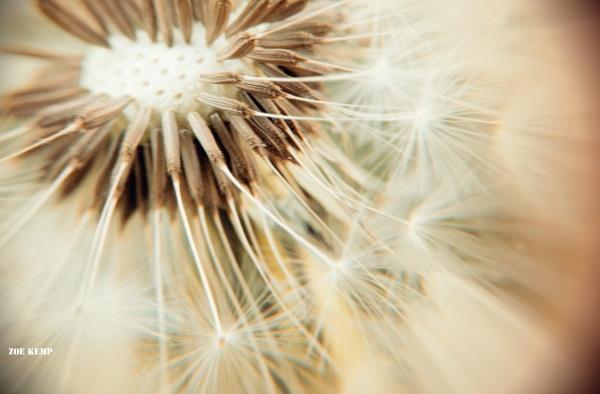 Vintage dandelion clock seeds by ZoeKemp