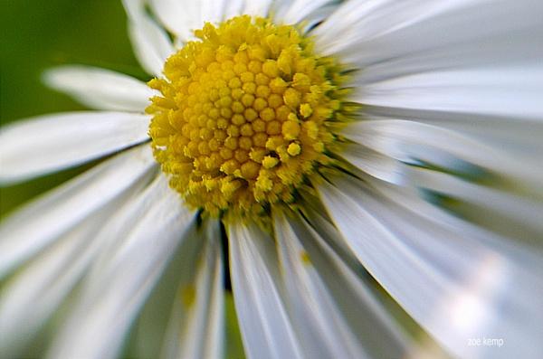 Daisy by ZoeKemp