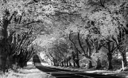 Infrared Beech Trees