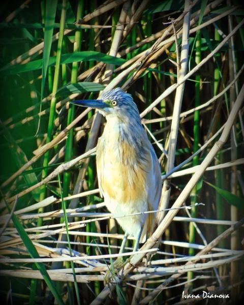 Squacco heron (Ardeola ralloides) by idiabb