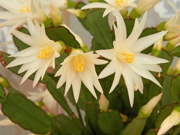 Easter Cactus Flowers by Cephus