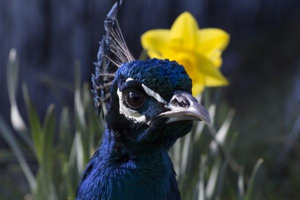 Peacock by CanonRebecca22