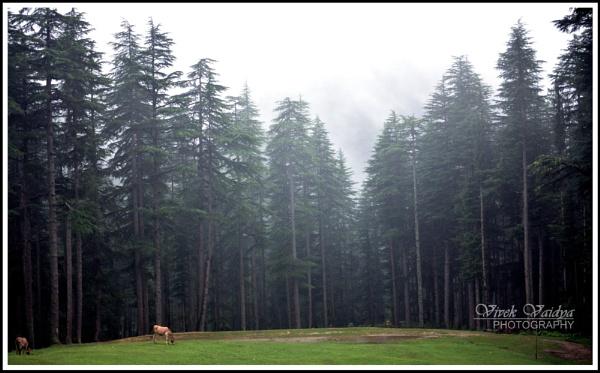 A Forest Scene Himachal by vivekvaidya