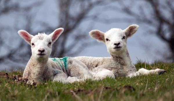 Ears looking at ewe by Somerled7