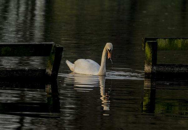 Morning Swan by chensuriashi