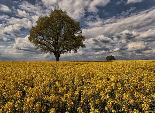 A Sea of Yellow by Buffalo_Tom