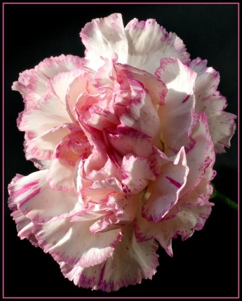 Carnation by Stuart463