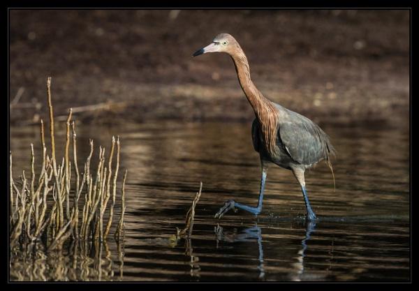 Blue/ no, Reddish Egret by mjparmy