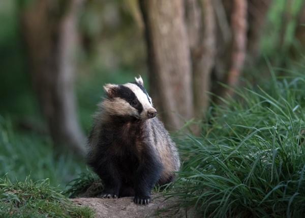 Badger by hasslebladuk