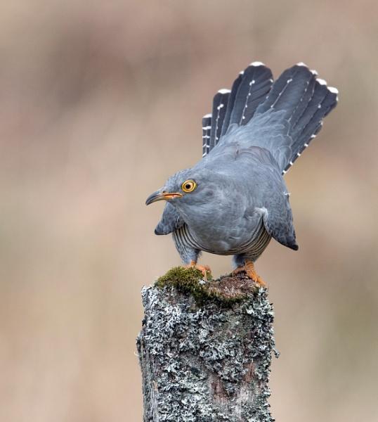 Cuckoo by hasslebladuk
