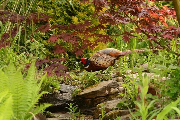 Pheasant by Jenny-D