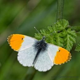Orange-tip