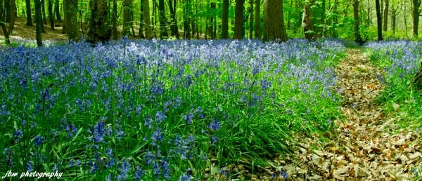 Bluebell Path by Jodyw17
