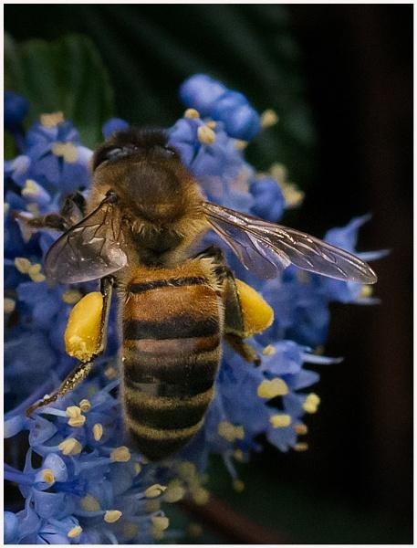 Honey Bee by Joken_9