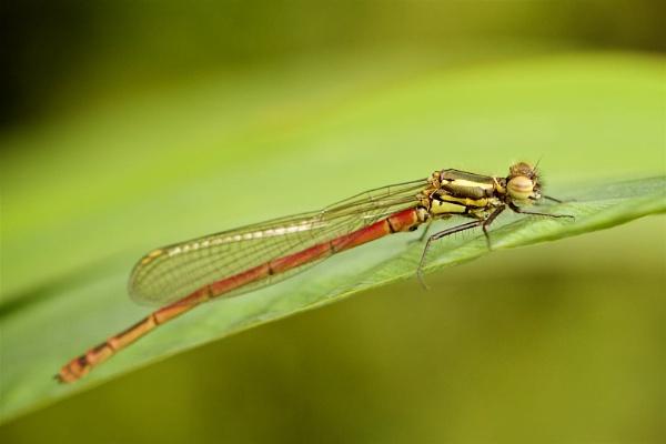 damsel fly by tpfkapm