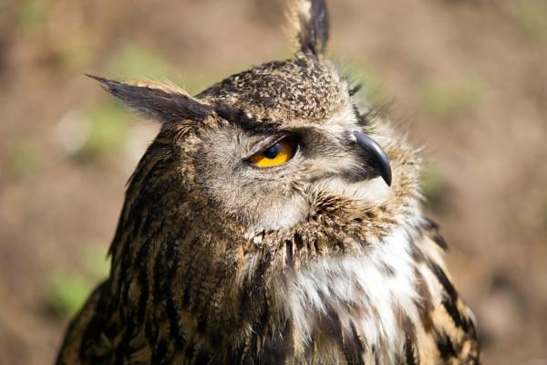 Curly the Eagle Owl by blueninjasix