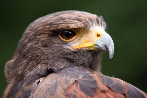Harris Hawk by blueninjasix