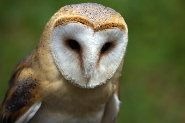Barn Owl by blueninjasix