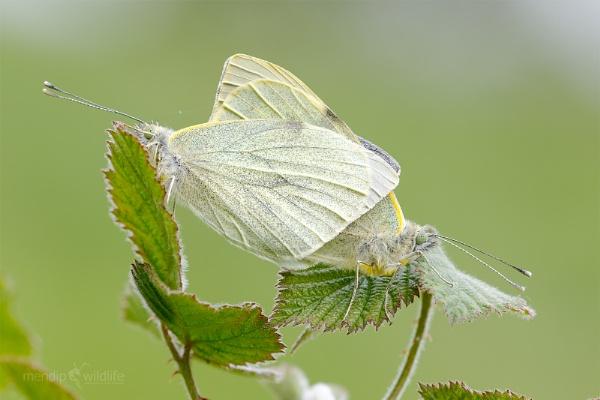 Small White - Pieris rapae by Mendipman