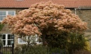 japanese maple by robthecamman