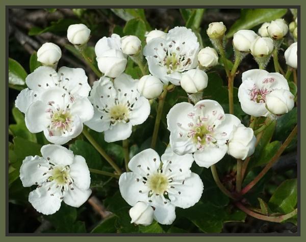 May Blossom by JawDborn