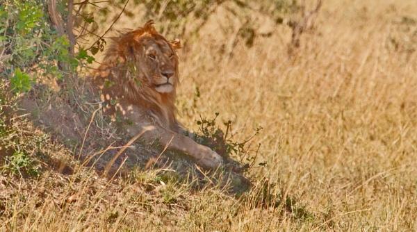 Lion in the shade, away from the sun, Masai Mara, Kenya by brian17302