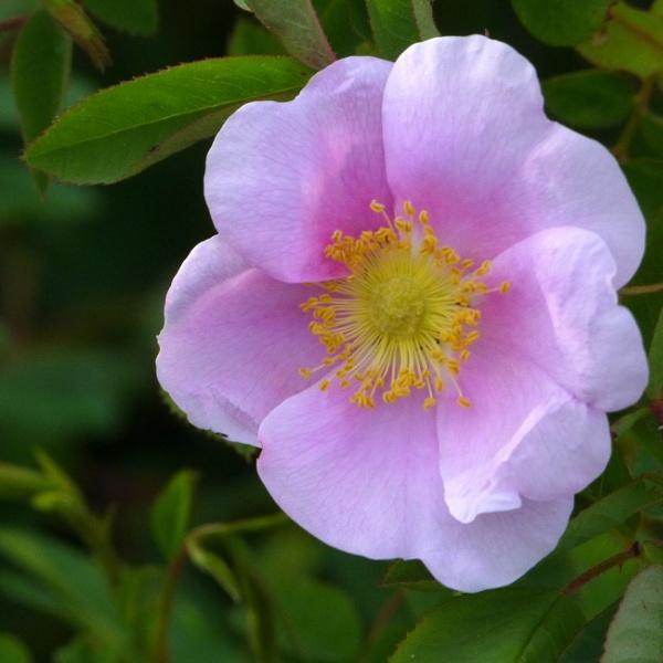 Rose Wild by tonyguitar