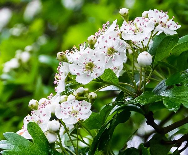 Hawthorne Blossom by Nikonuser1