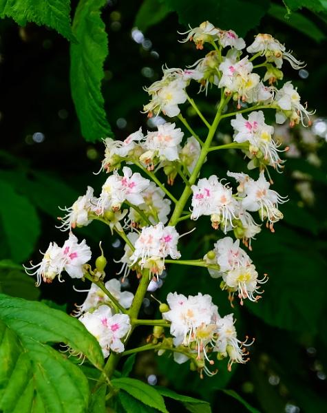 Horse Chestnut Bloom by Nikonuser1